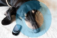 Old dog Dachshund suffering from Diabetes. Concept with Glucometer and symbol blue circle. 14 November World  Diabetes Day.