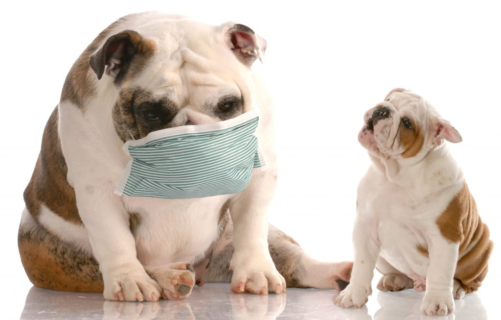 english bulldog puppy sneezing at another dog wearing a medical mask with reflection on white background